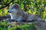 gray wolf lounging