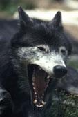 gray wolf yawning