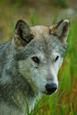 gray wolf one