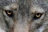 sad wolf eyrs